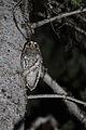 Psiloscops flammeolus Idaho 1.jpg