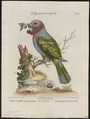 Psittacus accipitrinus - 1700-1880 - Print - Iconographia Zoologica - Special Collections University of Amsterdam - UBA01 IZ18600091.tif