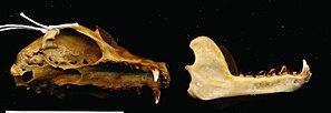 Ceram fruit bat - Image: Pteropus ocularis