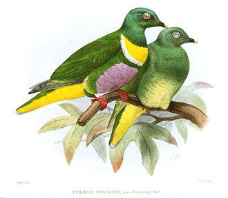 Yellow-bibbed fruit dove - Image: Ptilopus Speciosus Smit