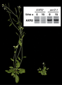 Pulse-chase analysis of auxin signal transduction in Arabidopsis thaliana wildtype and mutant.png