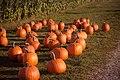 Pumpkin Picking (Unsplash).jpg