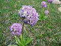 Purple Flowers Naran.JPG