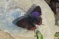 Purple Saphire (male) Heliophorus epicles (8162236734).jpg