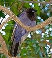 Purplish Jay (Cyanocorax cyanomelas) (30970029673).jpg