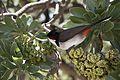 Pycnonotus jocosus su Heliotropium foertherianum 0045.jpg