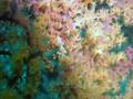 Pygmy Seahorse.png