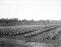 Queensland State Archives 2623 Training farm Beerburrum October 1918.png