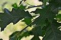 Quercus cerris (7775509856).jpg