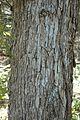 Quercus oglethorpensis (23851174910).jpg