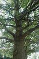 Quercus robur (23566401624).jpg