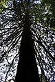 Résineux de la forêt de Bagnoles-de-l'Orne.jpg
