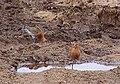 Rödspov Islandica Icelandic Black-tailed Godwit (14342057217).jpg