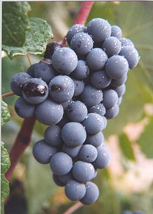 Bunch of Bobal grapes