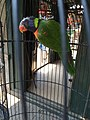 Rainbow lorikeet in Pasty Market.jpg