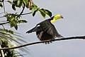Ramphastos sulfuratus -Belize -flying-8.jpg