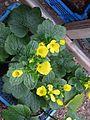 Ranunculus cortusifolius - Flickr - peganum (2).jpg