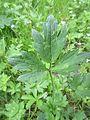 Ranunculus repens1.jpg