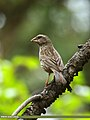 Red-Mantled Rosefinch (Carpodacus rhodochlamys) (28551845276).jpg