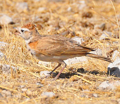 Red-capped lark.jpg