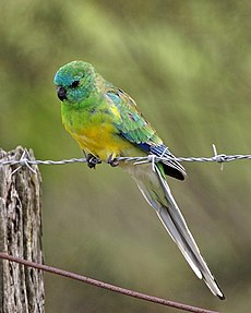 Red-rumped Parrot (Psephotus haematonotus) - Flickr - Lip Kee.jpg