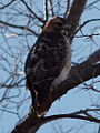 Red-tail hawk 3412.jpg