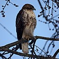 Red-tailed Hawk (5357401719).jpg