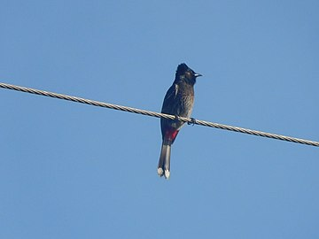 Red-vented Bulbul on a wire.jpg