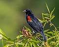 Red-winged Blackbird (17043243642).jpg