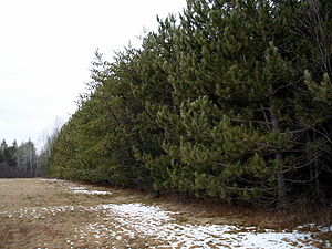 Reforestation - A 21-year-old plantation of red pine in Southern Ontario