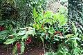 Red Ginger (Alpinia purpurata) (2665375195).jpg
