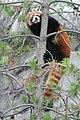 Red Panda (299684424).jpg