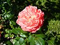Red Rose flowers 14.jpg