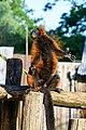 Red Ruffed Lemur (50349735993).jpg