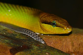 Red Tailed Racer (Gonyosoma oxycephalum) head and tail (22572953194).jpg