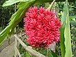 Red ginger flowerhead.JPG
