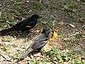Red winged blackbirds eating seed 4.jpg