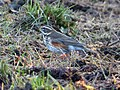 Redwing. Turdus iliacus.....on cold dull day (31886041654).jpg