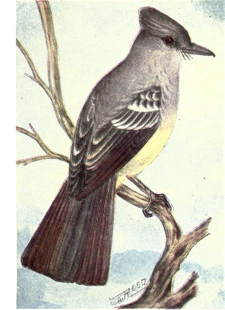 Reed-crested-flycatcher.png