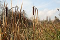 Reedmace on the Nottingham Canal near Cossall - geograph.org.uk - 610603.jpg
