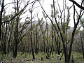 Regrowth on Bushfire Scarred Trees.JPG