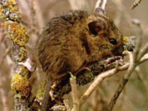 Salt marsh harvest mouse