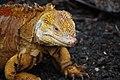 Reptil en las islas Galápagos.jpg