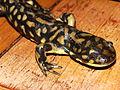 Rescued Tiger Salamander.jpg