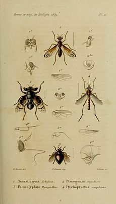 Plate from Revue et Magasin de Zoologie depicting Pterogenia singularis Bigot, 1859