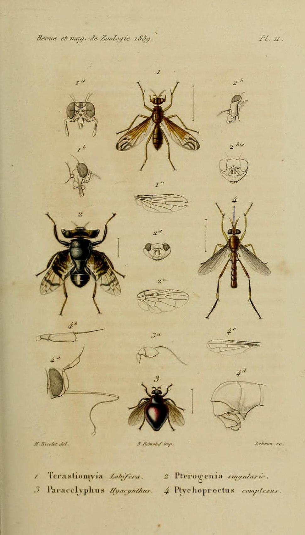 Plate from Revue et Magasin de Zoologie depicting Pterogenia singularis Bigot, 1859