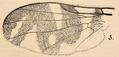 Rhagoletis fausta Aldrich 1909.png