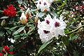Rhododendron 1 Fcb981.JPG