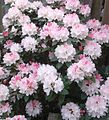 Rhododendron 2.jpg