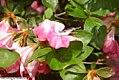 Rhododendron Bravura 2zz.jpg